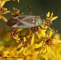 Plant Bug - Adelphocoris lineolatus