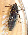 Small Click Beetle