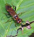 Sawfly - Macremphytus testaceus