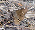 Confused Cloudywing - Thorybes confusis