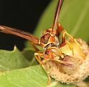 wasp at gall - Polistes