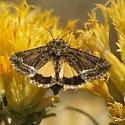 Pseudanarta species  - Pseudanarta flava