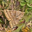 Moth BG750A 7354 - Caenurgina crassiuscula