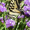 Butterfly - Papilio rutulus