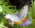 Nymphalidae 2 - Mestra amymone