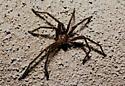 Crab Spider? - Olios