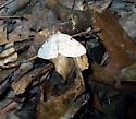 Which moth? - Heterophleps refusaria