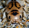 Pictured Rove Beetle - Thinopinus pictus