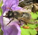 Bee 2 in WV - Osmia - male