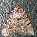 Moth 09.06.09 (1) - Aglossa pinguinalis