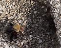 Centris rhodopsus - Centris rhodopus - female