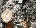 camo longhorn beetle - Monochamus scutellatus