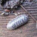 Oniscidea 01a - Armadillidium vulgare