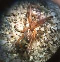 Western Widow - Latrodectus hesperus - male