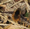 Bee Fly2 - Bombylius major