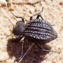Desert Beetle - Philolithus sordidus