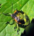 Stink Bug - Chinavia hilaris