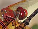 Cardinal Meadowhawk, Sympetrum illotum - Sympetrum illotum - male