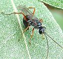 Spider Wasp? - Auplopus caerulescens