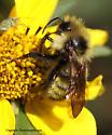 Bee - Bombus insularis