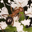 Ants for ID - Formica integra