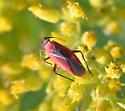 bug - Lopidea instabilis