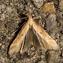 Gelechiidae? - Metzneria lappella