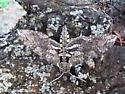 Mystery Sphinx moth - Manduca sexta
