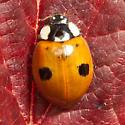 Two spotted ladybeetle - Adalia bipunctata