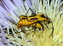 Goldenrod Soldier Beetles? - Chauliognathus - male - female