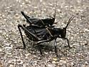 Confirmed: Romalea guttata (devil's horse, lubber grasshopper), dark form - Romalea microptera - male - female