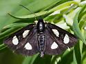 Small Moth - Alypia langtoni