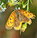 Bronze Copper female (Lycaena hyllus) - Lycaena hyllus - female