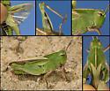 Mendocino Green-striped Grasshopper - Chortophaga mendocino - female