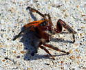 Is this a cardinal jumping spider and is it male or female? - Phidippus cardinalis
