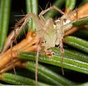 Spider - Araneus guttulatus - male