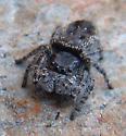 Big black jumper - Phidippus borealis - female