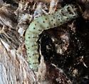 Caterpillar in Red Oak - Scolecocampa liburna
