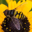 Black and yellow flower fly - Eristalis transversa
