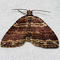 Many-lined Carpet Moth - Anticlea multiferata