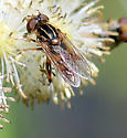 Syrphid BB - Lejops lineatus