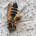 Large wasp, maybe Cerceris spp. - Tachytes distinctus - female