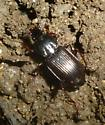 Pterostichus
