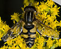 5015358 Heliophis - Helophilus - male
