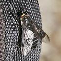 Tabanidae - Chrysops noctifer - female