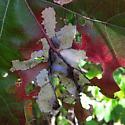 galls on underside of Oak leaf - Macrodiplosis majalis