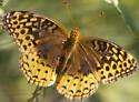 unknown butterfly - Speyeria cybele - female