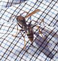 Wasp with red antennae - Mischocyttarus