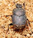 Onthophagus tuberculifrons