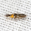 Cosmet Moth - Hodges #1493 - Cosmopterix bacata